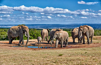 African bush elephant, Addo Elephant National Park