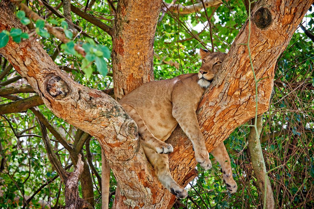 tree climbing lioness