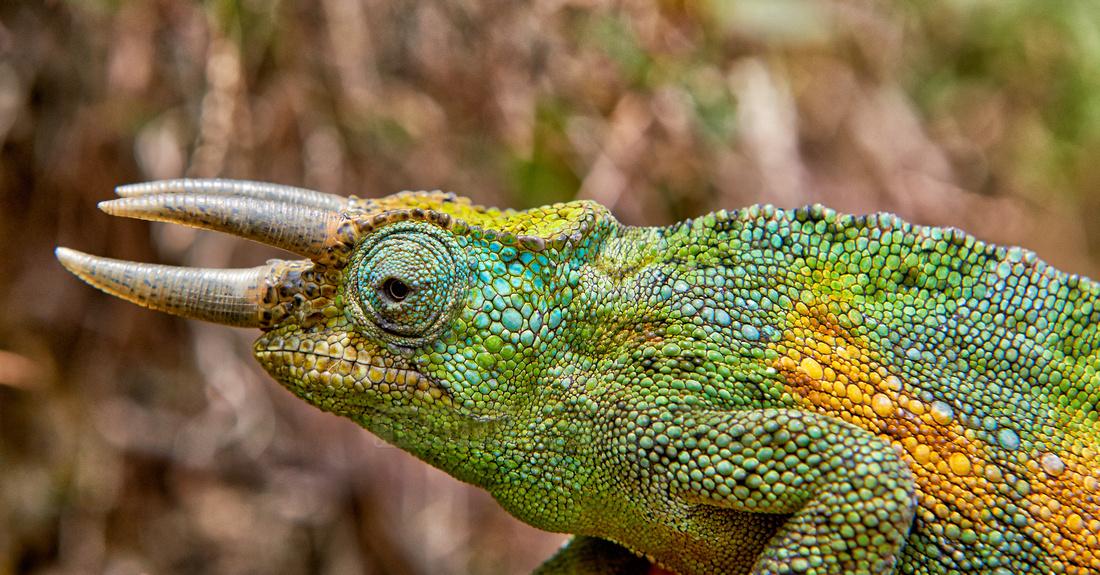 Jackson's three-horned chameleon, Trioceros jacksonii