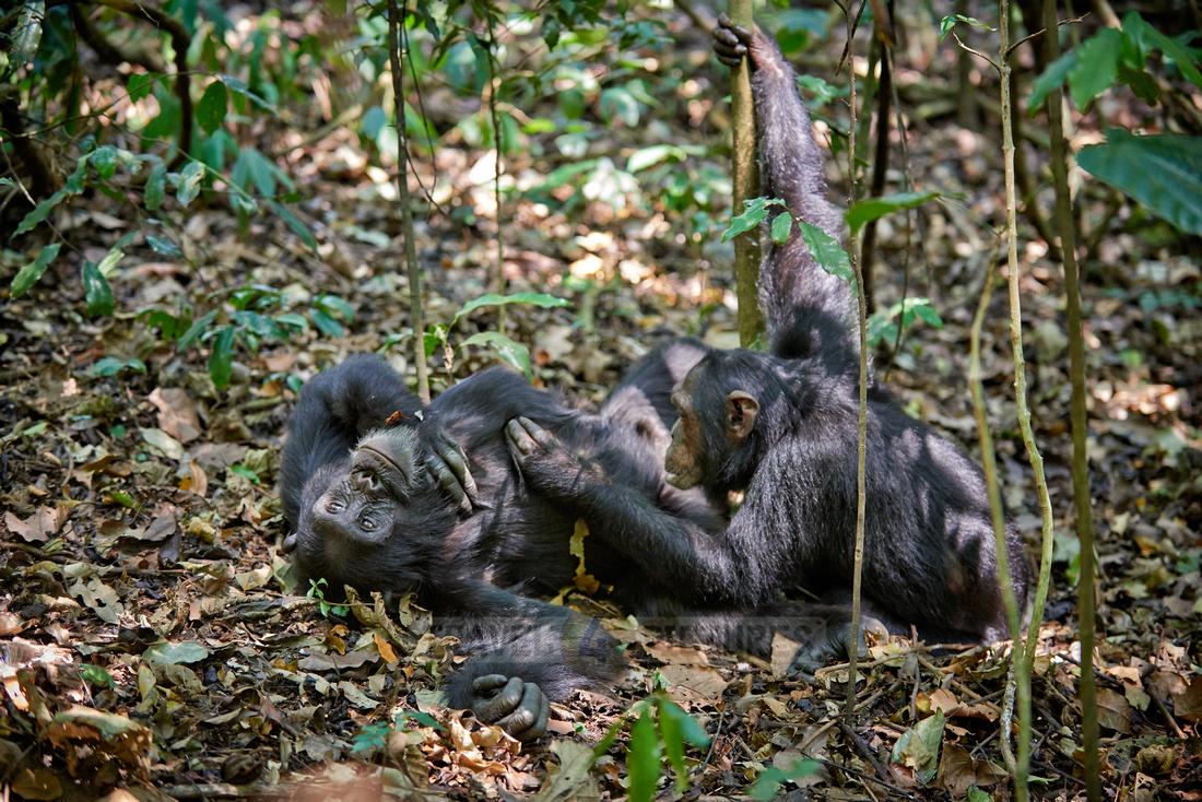 Common chimpanzee, Pan troglodytes