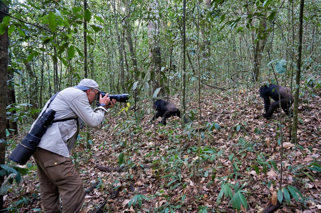tourist takes a photo of a chimpanzee