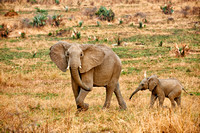 African Elephant with youngster