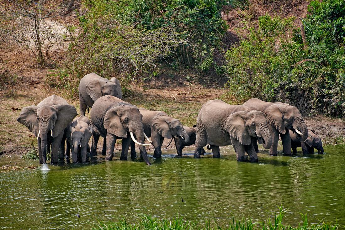 herd of African bush elephant