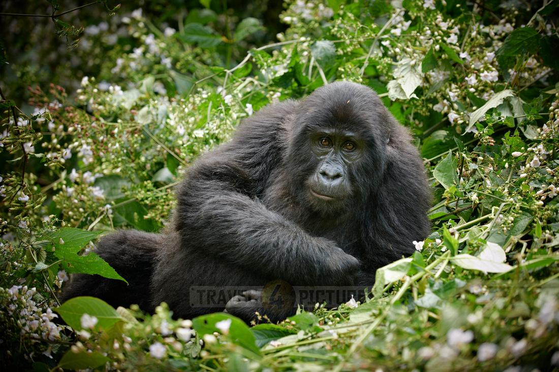 relaxing young mountain gorilla