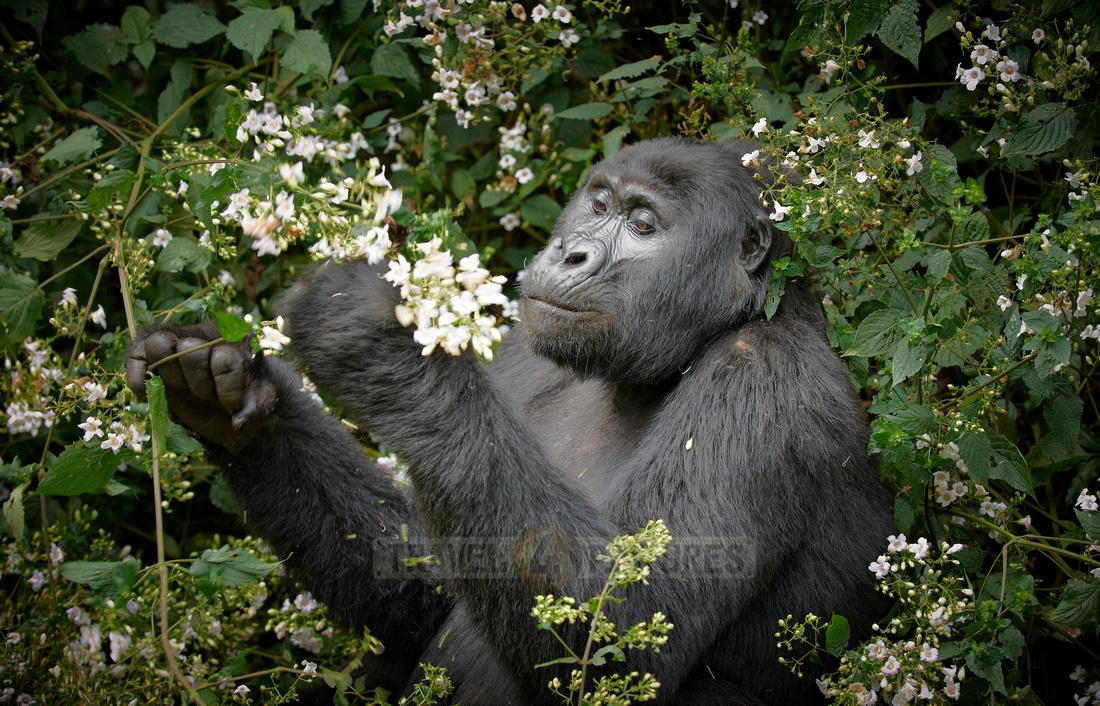 eating mountain gorilla