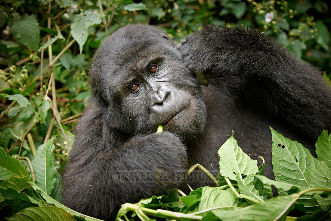 young eating mountain gorilla