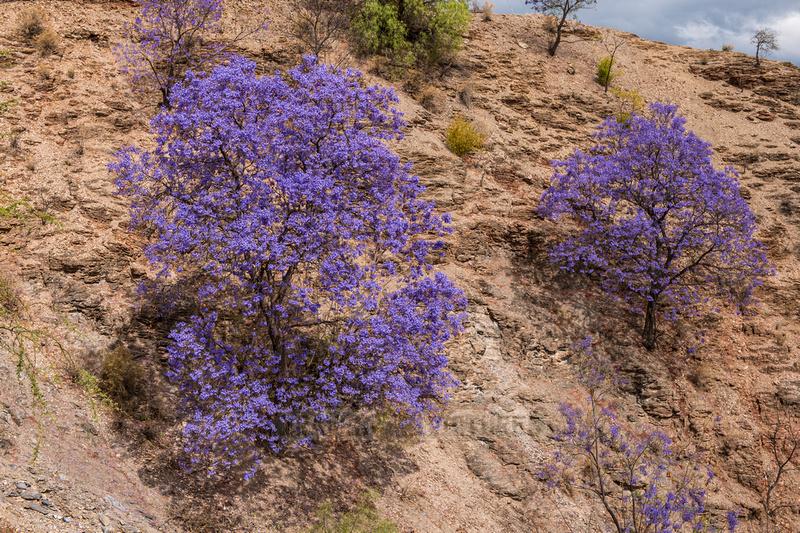 blooming Lapacho tree