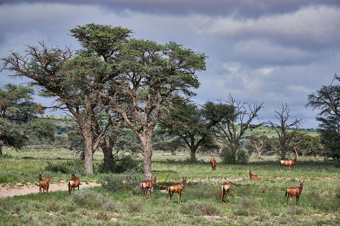 Südafrikanische Kuhantilope, Alcelaphus caama  |Red hartebeest, Alcelaphus caam|