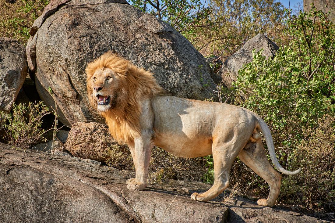 huge male lion on a kopje