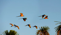 flying Blue-and-Yellow Macaws, Ara ararauna