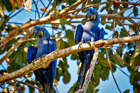 couple of Hyacinth Macaws