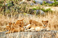 group of lion cubs
