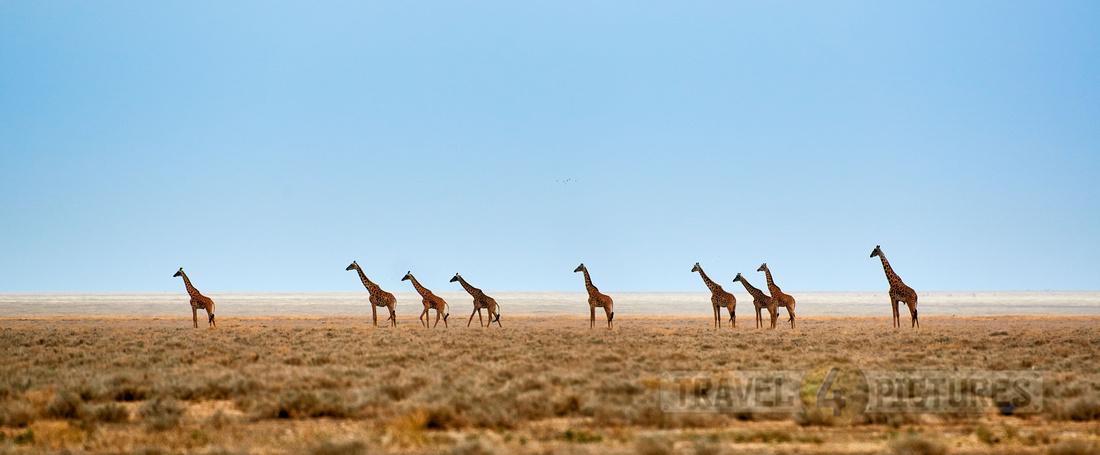 Giraffes in the vastness of a dry Serengeti