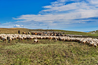 sheep herd in treeless landscape