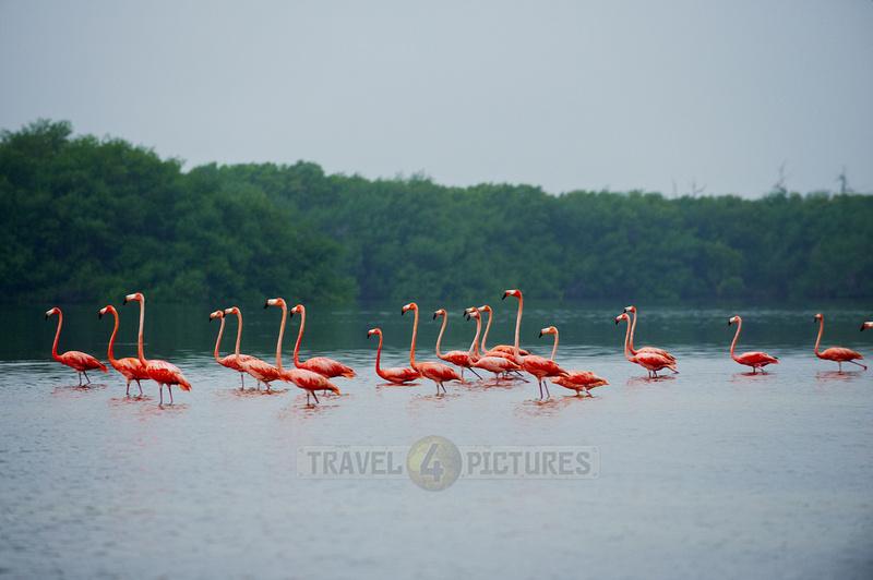 American Flamingo, Phoenicopterus ruber