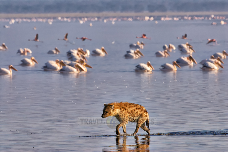Spotted Hyena hunting birds