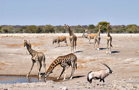 mixed antelopes at waterhole in Etosha
