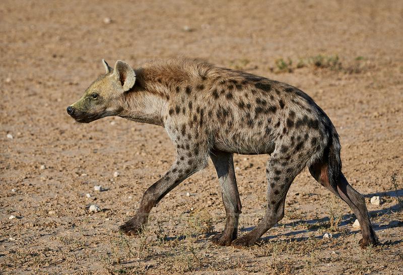 Tuepfelhyaene oder Fleckenhyaene, Crocuta crocuta |Spotted hyena, Crocuta crocuta|