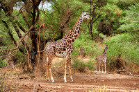 young Masai Giraffe with mother