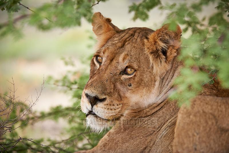 Loewin (Panthera Leo) |female lion (Panthera leo)|