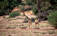 lion couple roaming the Kalahari