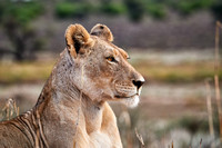 lioness watiching the area