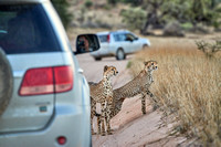 Cheetah with older cub between cars