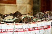 rats in Temple of Rats or Karni Mata Temple