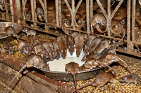 Rats on a bowl with milk