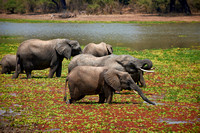 herd of African Bush Elephant