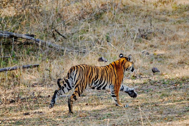 Bengal tiger, (Panthera tigris tigris) running away