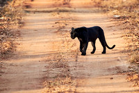 the elusive Black panther, melanistic  Indian leopard