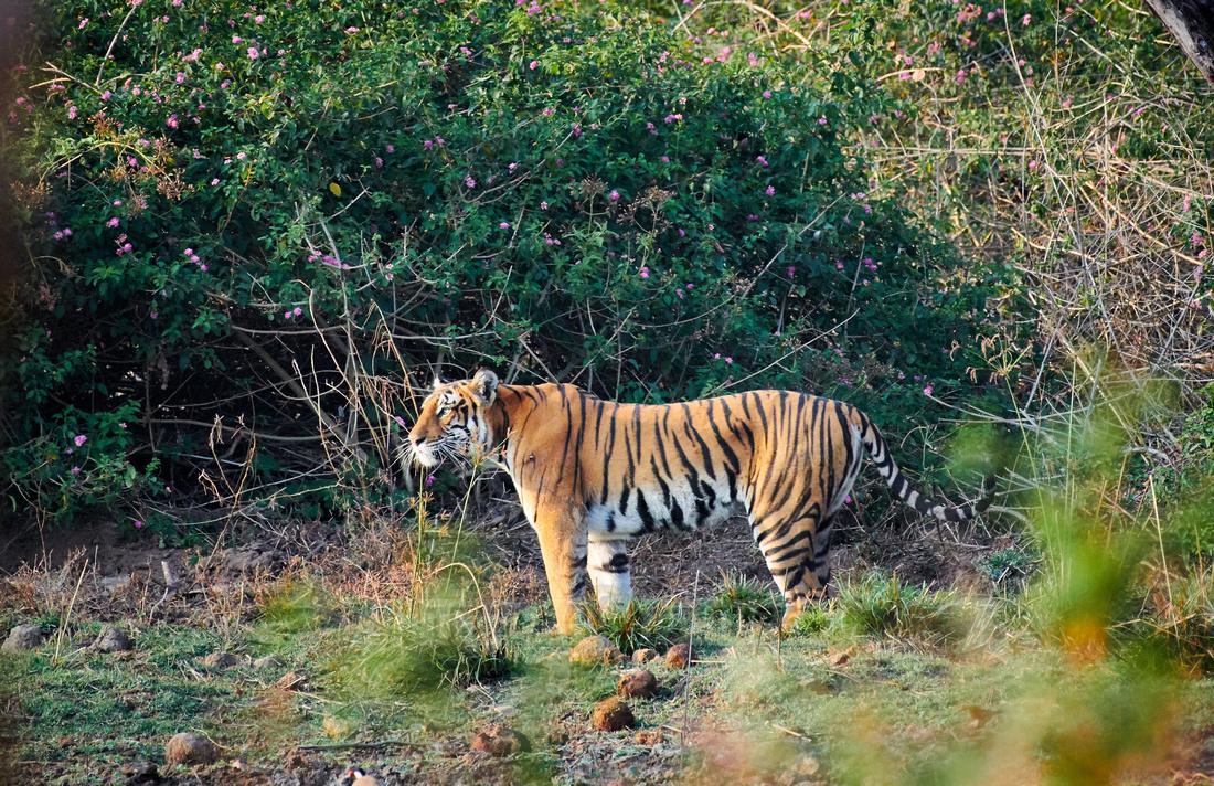 Bengal tiger, (Panthera tigris tigris)