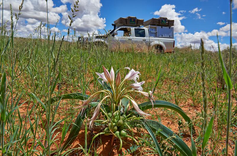 Lilienbluete in Landschaft  |lily flower in landscape|