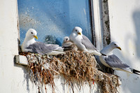 common gulls (Larus canus) or sea mew with chick in nest