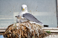 common gull (Larus canus) or sea mew with chick in nest