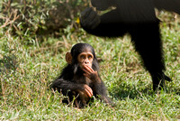 Common Chimpanzee, Laikipia, Kenya 2008