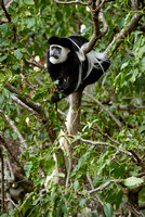 Black-and-white colobus monkeys, Kenya 2008