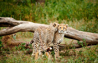 two young cheetahs