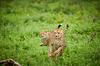 cheetah cub with mother