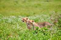 two young cheetahs on the hunt