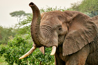 elephant encounters in Tarangire, Manyara and Serengeti National Park, 01-2020