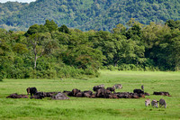 herd of African buffalo or Cape buffalo (Syncerus caffer) and Zebras
