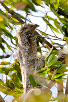 giant or great Potoo, Nyctibius grandis