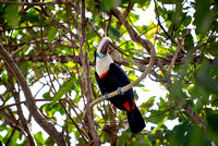 red billed toucan sitting in a tree