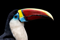 portrait of a red billed toucan