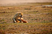yellow baboon, South Luangwa National Park 10-2020