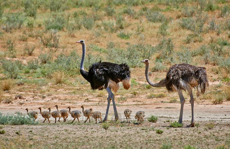 Afrikanischer Strauß mit Kueken, Struthio camelus  |ostrich with chicks, Struthio camelus|