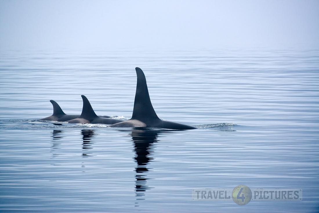 Resident Killer whales