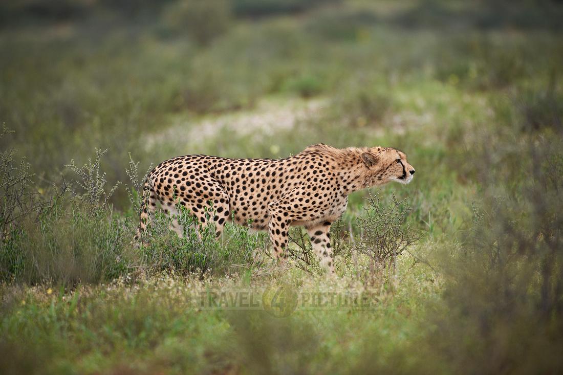Gepard |Cheetah|